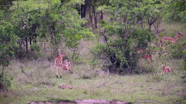 Common Impala young animals running and playing in Kruger National park, South Africa ; Specie Aepyceros melampus family of Bovidae