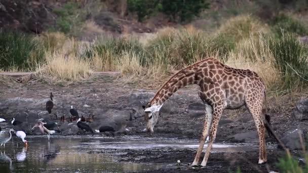 Zsiráf iszik például víznyelő Kruger Nemzeti park, Dél-Afrika; Specie Giraffa zsiráf család Giraffidae