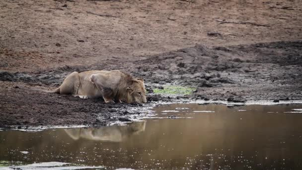 African lion young male drinking in waterhole in Kruger National park, South Africa ; Specie Panthera leo family of Felidae
