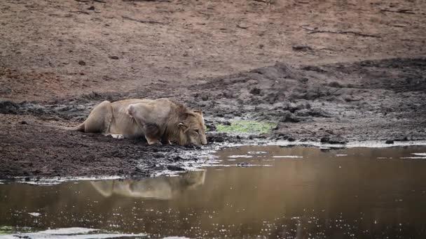 Africký Lev mladý muž pití v Napajedla v Krugerův národní park, Jihoafrická republika; Specie Panthera leo rodina savec