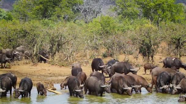 Large group of African buffalo bathing in Kruger National park, South Africa ; Specie Syncerus caffer family of Bovidae