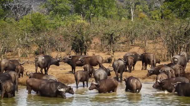 Velká skupina buvol africký koupání v Krugerův národní park, Jihoafrická republika; Specie Syncerus caffer rodina turovitých