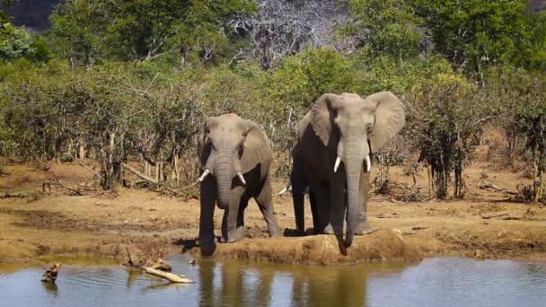 Három afrikai bokor elefántok iszik például víznyelő Kruger Nemzeti park, Dél-Afrika; Specie Loxodonta africana család Elefántfélék (Elephantidae)