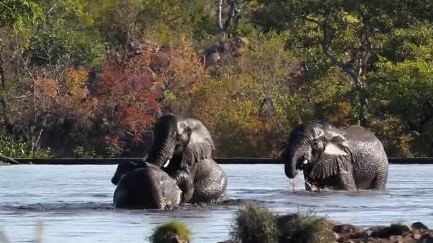 Tři mladý africký slon hraní ve vodě v Krugerův národní park, Jihoafrická republika; Specie Loxodonta africana rodina Slonovití