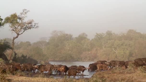 African buffalo herd in misty morning scenery in Kruger National park, South Africa ; Specie Syncerus caffer family of Bovidae