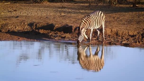 Zebra stepní pití s jeho odraz ve vodě v Krugerův národní park, Jihoafrická republika; Specie Equus quagga burchellii rodina koňovitých
