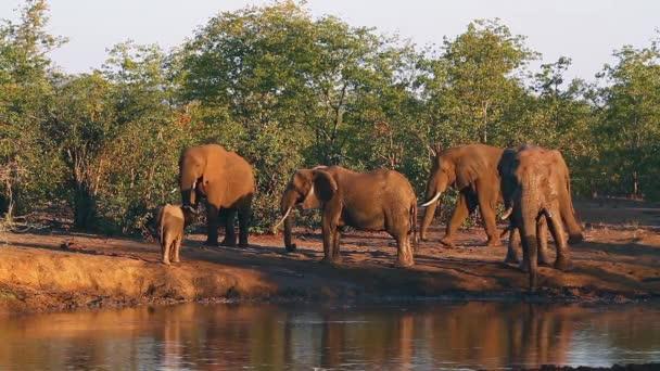 Afrikai bokor elefánt család mellett például víznyelő Kruger Nemzeti park, Dél-Afrika; Specie Loxodonta africana család Elefántfélék (Elephantidae)