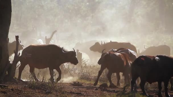 African buffalo herd in a misty morning in Kruger National park, South Africa ; Specie Syncerus caffer family of Bovidae