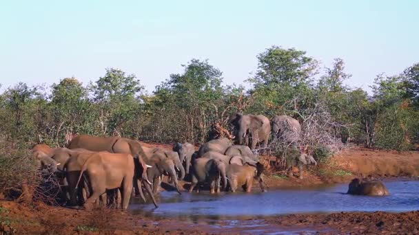 Slon africký v Krugerův národní park, Jižní Afrika; Specie Loxodonta africana rodina Slonovití