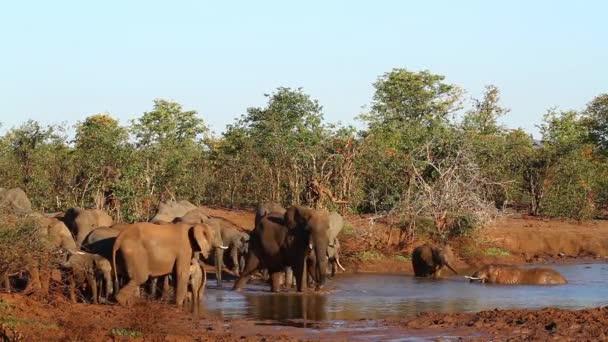 African bush elephant herd in waterhole in Kruger National park, South Africa ; Specie Loxodonta africana family of Elephantidae