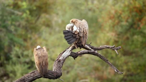 Two White backed Vulture defacating and spread wings in Kruger National park, South Africa ; Specie Gyps africanus family of Accipitridae