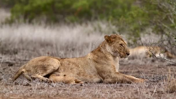 African lioness with tiny cub in Kruger National park, South Africa ; Specie Panthera leo family of Felidae