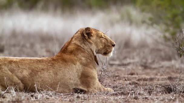 Africká lvice s roztomilým malým mládětem v Kruger National Park, Jižní Afrika; Specializace Panthera Leo, čeleď Felidae