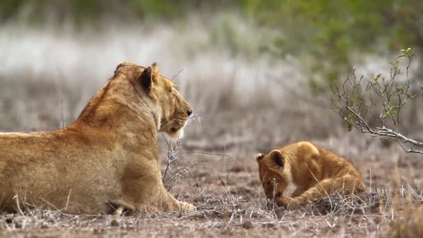 African lioness with cute tiny cub in Kruger National park, South Africa ; Specie Panthera leo family of Felidae