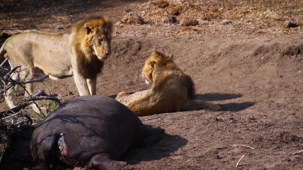 Dva afričtí Lví muži s jatečně upraveném hroch v národním parku Kruger, Jižní Afrika; Druhe Panthera Leo, čeleď Felidae
