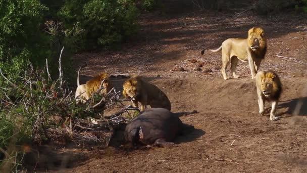 Négy afrikai oroszlán férfi víziló hasított a Kruger Nemzeti Park, Dél-Afrika; Specie Panthera leo család Felidae
