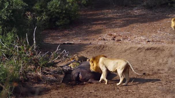 Tři afričtí Lví muži s jatečně upraveném hroch v národním parku Kruger, Jižní Afrika; Specializace Panthera Leo, čeleď Felidae