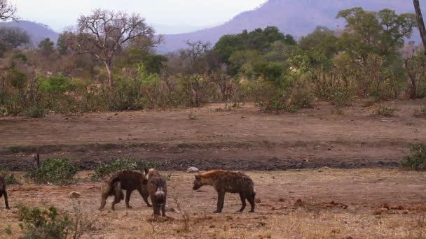 Malá skupina skvrnitých Hyaena hrála v Savannah scenérii v národním parku Kruger v Jižní Africe; Čeleď crocuta crocuta rodu Hyaenidae