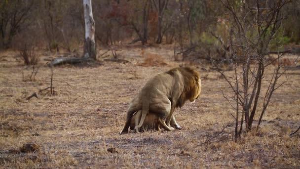 Africký pár, pářící v Kruger National Park, Jižní Afrika; Specializace Panthera Leo, čeleď Felidae