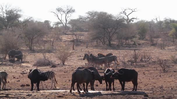 African buffalo drinking and zebra running in waterhole in Kruger National park, South Africa