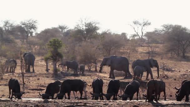 Africký buvol, africký slon a Zebra popíjení ve vodní díře v Kruger National Park, Jižní Afrika