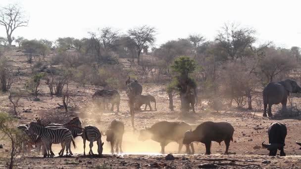 Afrikai bivaly, afrikai elefánt és a zebra iszik a vízlyukban a Kruger Nemzeti Parkban, Dél-Afrikában