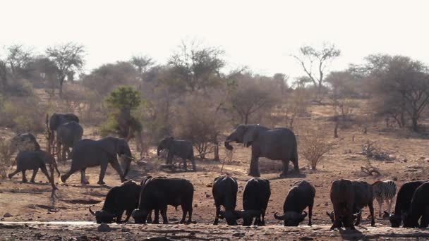 African buffalo, african elephant and zebra drinking in waterhole in Kruger National park, South Africa