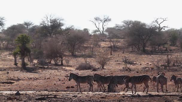 Plains zebra drinking in waterhole in Kruger National park, South Africa ; Specie Equus quagga burchellii family of Equidae