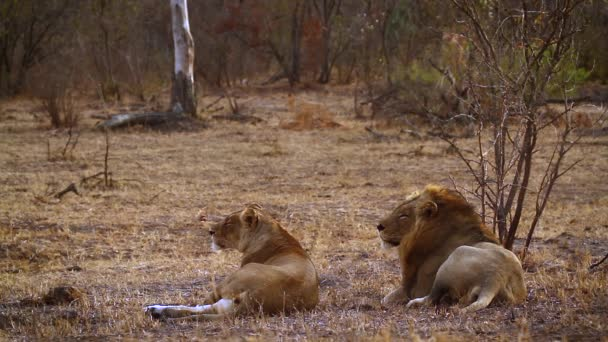 African lion couple lying down in Kruger National park, South Africa ; Specie Panthera leo family of Felidae