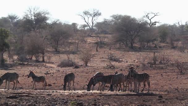 Kis csoport Alföldi zebra iszik víz lyuk Kruger Nemzeti Park, Dél-Afrika; Specie Equus Kvagga burchellii család lófélék