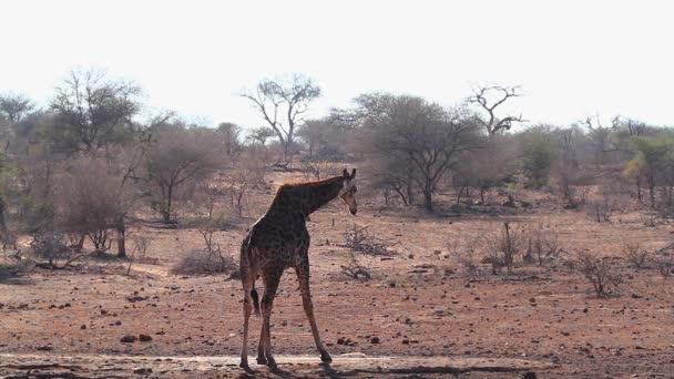Giraffe drinking in waterhole in Kruger National park, South Africa ; Specie Giraffa camelopardalis family of Giraffidae
