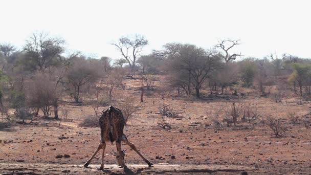 Žirafa v Napajedla v Krugerův národní park, Jihoafrická republika; Specie Giraffa souhvězdí žirafy rodinu Giraffidae
