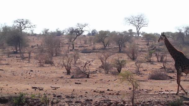 Giraffe walking in dry savannah in Kruger National park, South Africa ; Specie Giraffa camelopardalis family of Giraffidae