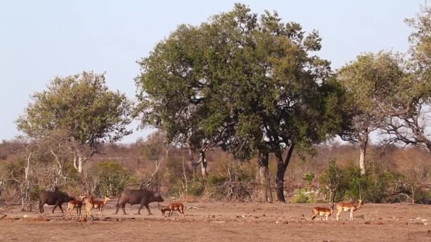 African buffalo walking with impala in Kruger National park, South Africa ; Specie Syncerus caffer family of Bovidae