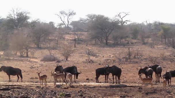 Kék GNÚ csorda díszíthetjünk a Impala a Kruger Nemzeti Park, Dél-Afrika; Specie Connochaetes taurinus család Bovidae