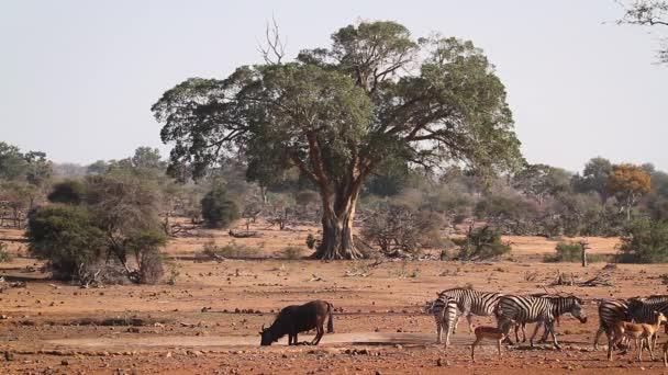 Síkságok Zebra vízlyukban kék GNÚ és Impala a Kruger Nemzeti Park, Dél-Afrika; Specie Equus Kvagga burchellii család lófélék