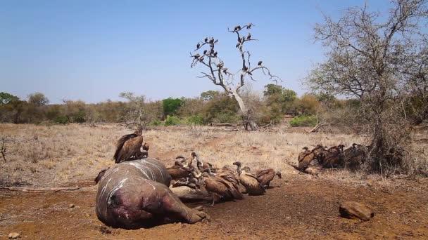 Gruppo avvoltoio con schienale bianco su carcassa ippopotamo nel parco nazionale di Kruger, Sudafrica; Specie Gyps africanus famiglia di Accipitridae