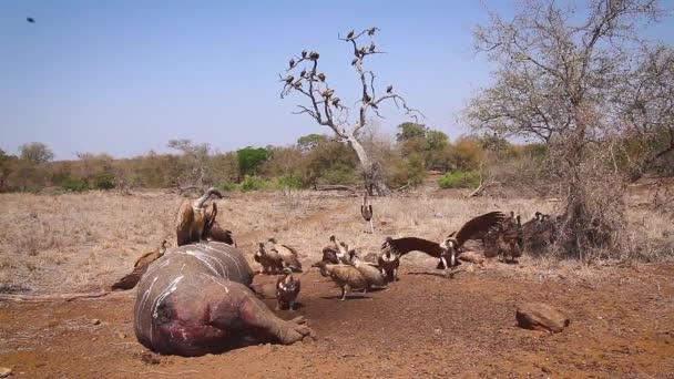 V Kruger National Park, Jižní Afrika, se v ní nachází bílá skupina supů na těle hroch obojživelný; Skupina-Gyps Africanus rodina Accipitridae