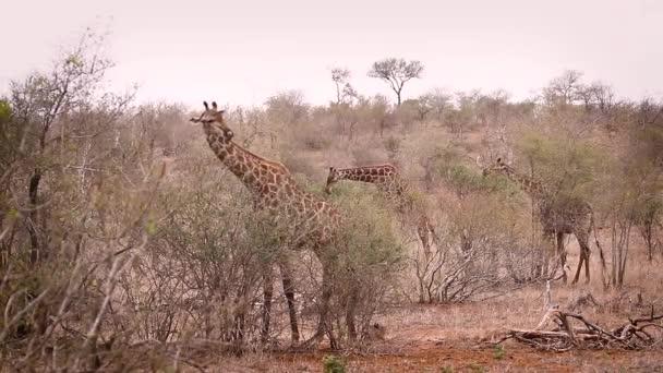 Tři žirafy jedí v suché savaně v Kruger National Park, Jižní Africe; Druh Žirafa camelopardalis rodina žiraffidae