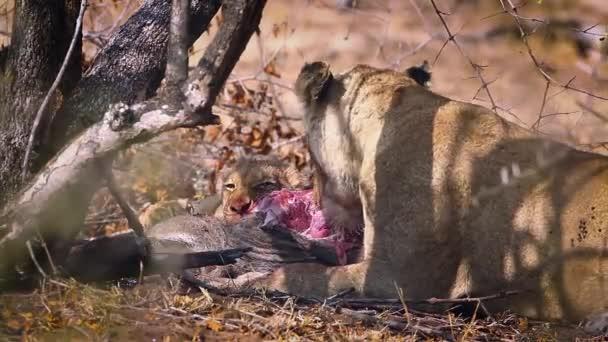 Afrikai oroszlán kölyökevő zsákmánnyal a Kruger Nemzeti Parkban, Dél-Afrikában; Specie Panthera leo család Felidae