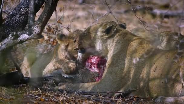Africká lvice s mládětem jíst kořist v Kruger National Park, Jižní Afrika; Specie Panthera Leo rodina Felidae