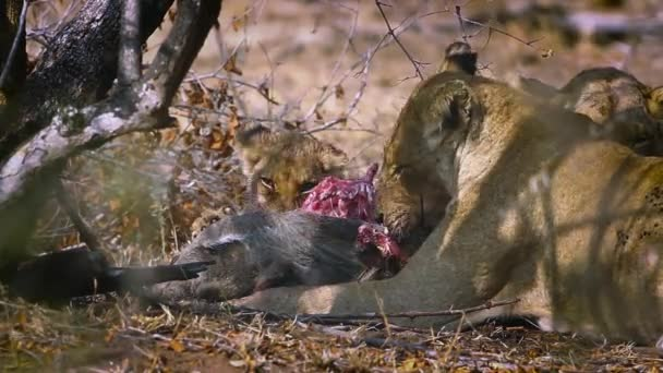 African lioness with cub eating prey in Kruger National park, South Africa ; Specie Panthera leo family of Felidae