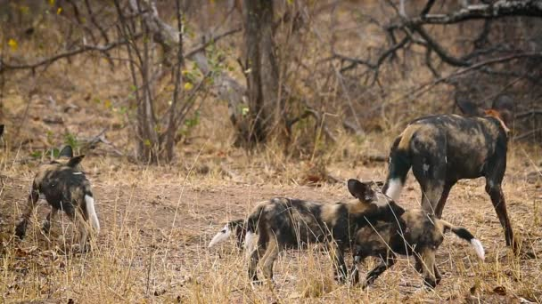 African wild dog mother feeding her cubs in Kruger National park, South Africa ; Specie Lycaon pictus family of Canidae
