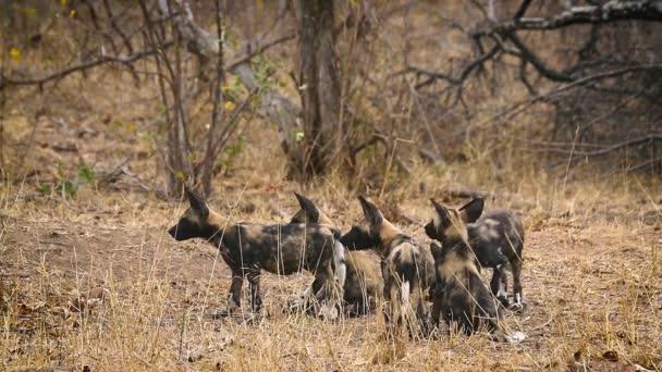 Kis csoport fiatal afrikai vad kutya játszik Kruger Nemzeti Park, Dél-Afrika; Faj Lycaon pictus család kutyafélék