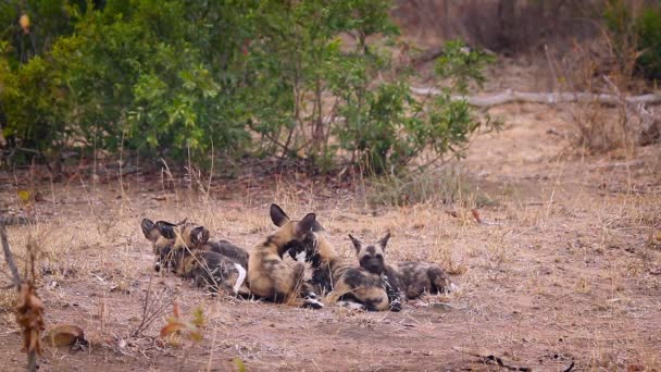 Small group of young African wild dog in Kruger National park, South Africa ; Specie Lycaon pictus family of Canidae