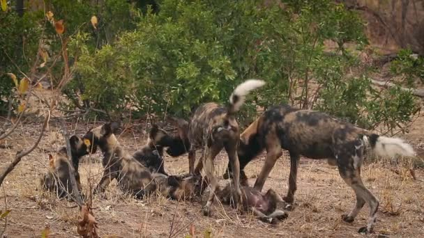 African wild dog couple with their cubs in Kruger National park, South Africa ; Specie Lycaon pictus family of Canidae