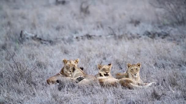 Öt afrikai oroszlán fekszik Savannah-ban a dél-afrikai Kruger Nemzeti Parkban; Specie Panthera leo Felidae család