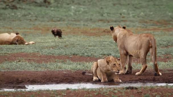 Két afrikai oroszlán ivott a víznyelőben a Kruger Nemzeti Parkban, Dél-Afrikában; Specie Panthera leo család Felidae