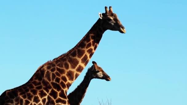 žirafy v přírodě proti modré obloze