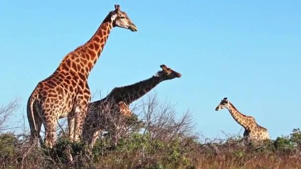zsiráfok, a természet, a kék ég ellen
